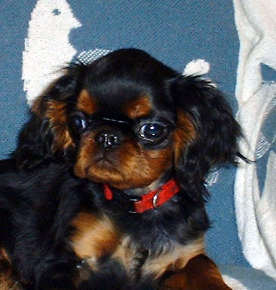 English toy spaniel, Banner at 4 months