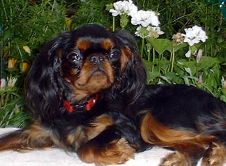 English toy spaniel, Banner at 10 months old, in the garden. Summer 2003