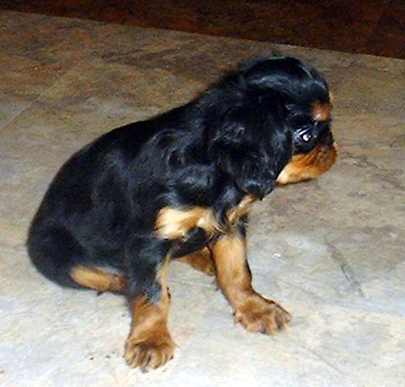 English toy spaniel, Banner at 8 weeks