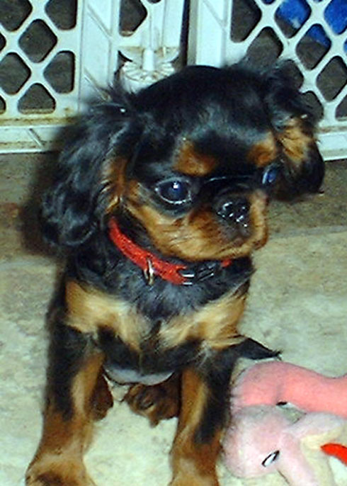 English toy spaniel, Banner at 12 weeks