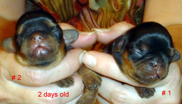 both puppies at 2 days of age
